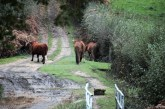Cow and ponies