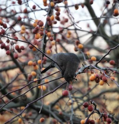 Blackbird eating crab apples