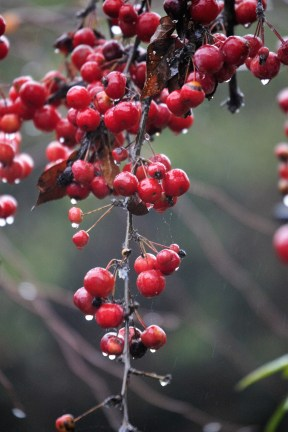 Crab apples with raindrops