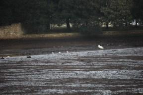 Swan and gulls on silt
