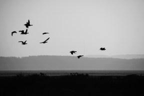 Brent geese 1
