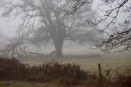 Oak in field