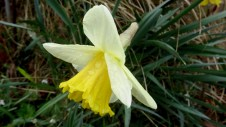Raindrops on Daffodil 1