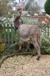 Donkey in garden 2