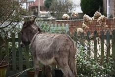 Donkey in garden 3