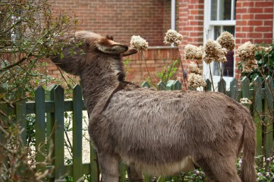 Donkey in garden 4