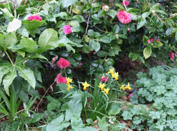 Palm Bed camellias and daffodils