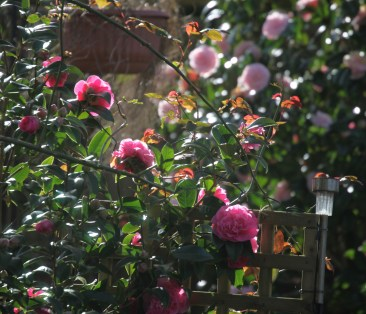 Camellias 1