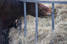Ponies eating hay 2
