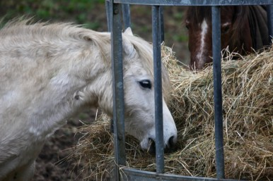 Ponies eating hay 3