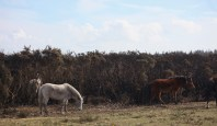 Ponies and burnt gorse 3