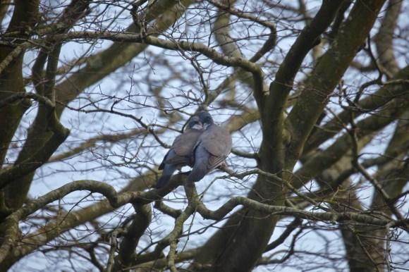 Wood pigeons 4