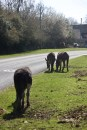 Donkeys and pony 1