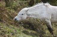 Pony eating bramble