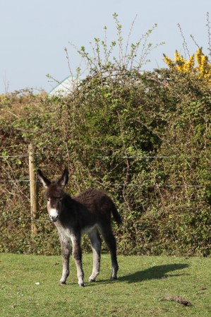 Donkey foal 2