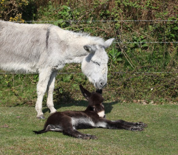 Donkey and foal 7