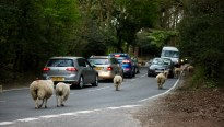 Sheep on road 3