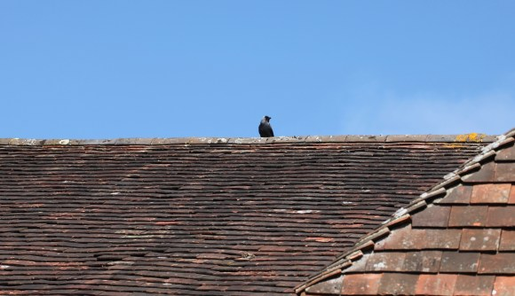 Jackdaw on rooftop 3