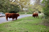 Highland cattle 3
