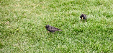 Starlings 2