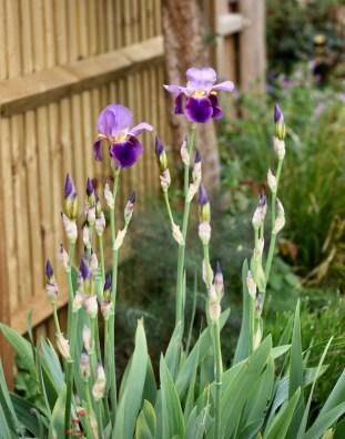 Irises 1