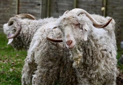 Horned sheep 1