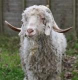 Horned sheep 3