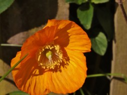 Golden poppy 2