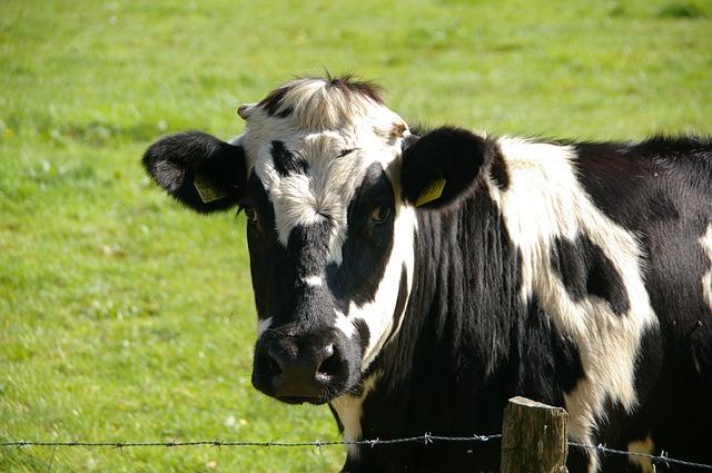 El suicidio de una vaca contado por ella misma (1)