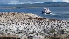 Ile des cormorans rois