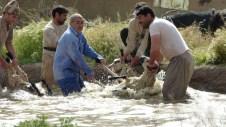 séance de lavage des moutons