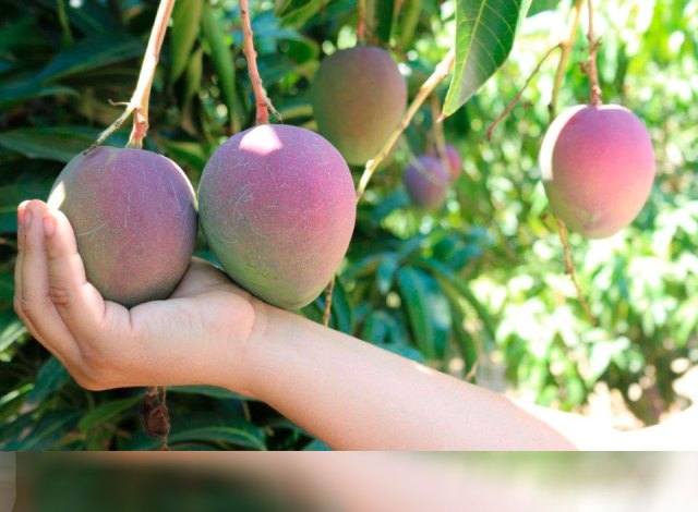 Comité de mango realizará su capacitación anual en las regiones del Sur y Oriente del país