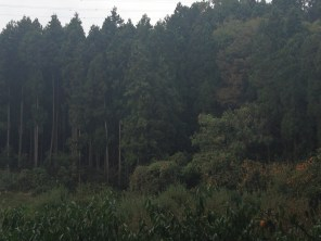 Persimmons in the foreground, the forest in the back