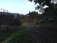 Walking down through the persimmon orchards.