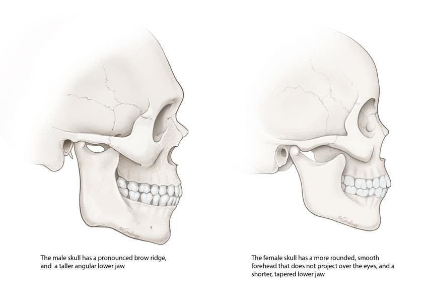Skull comparison lateral. Image credit: Chris Gralapp