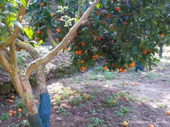 Laranjeira hiper carregada e as laranjas apodrecendo no chão.