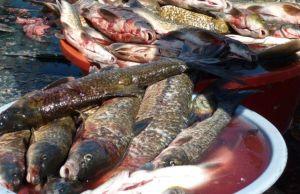 Peixes de rio