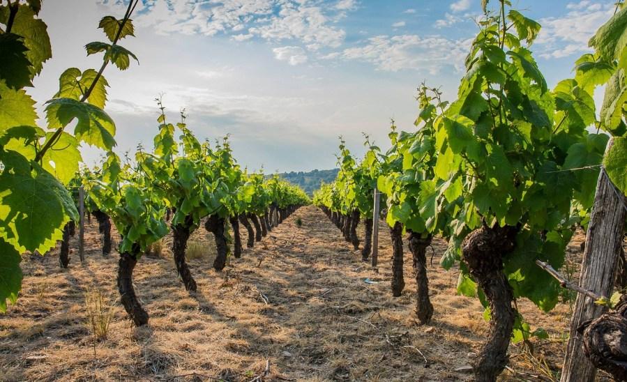 Beaujolais vinhedo - CONTATO