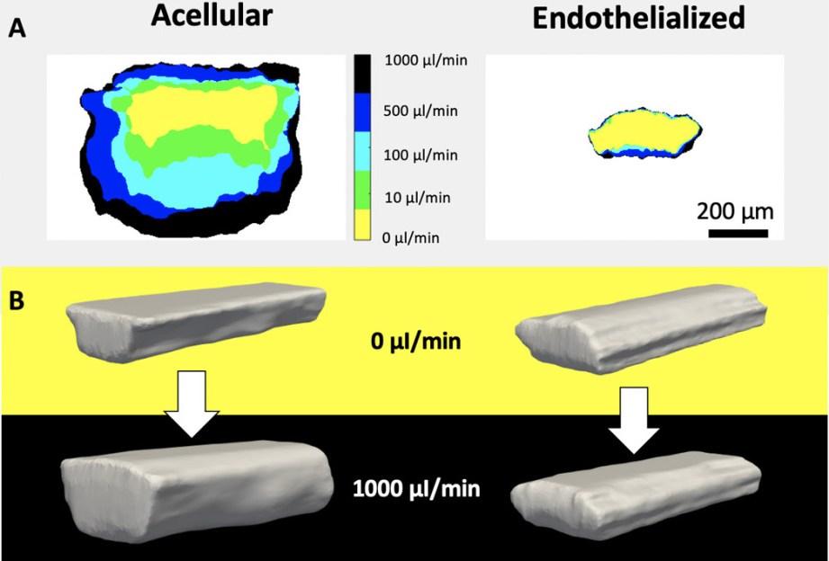the llnl teams vascular structures demonstrated t - La impresión 3D en la lucha contra el cancer