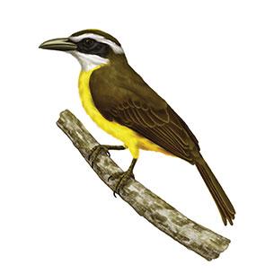 Descubre las Aves de Venezuela