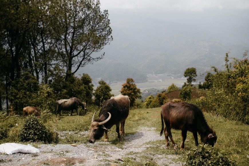 Grupo de búfalos pasturando en el Sarangkot, Nepal