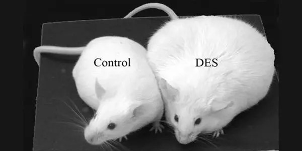 Control-and-DES-treated-Mice image
