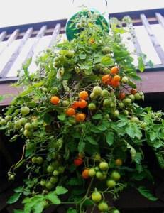 tomate em garrafa de plástico 10