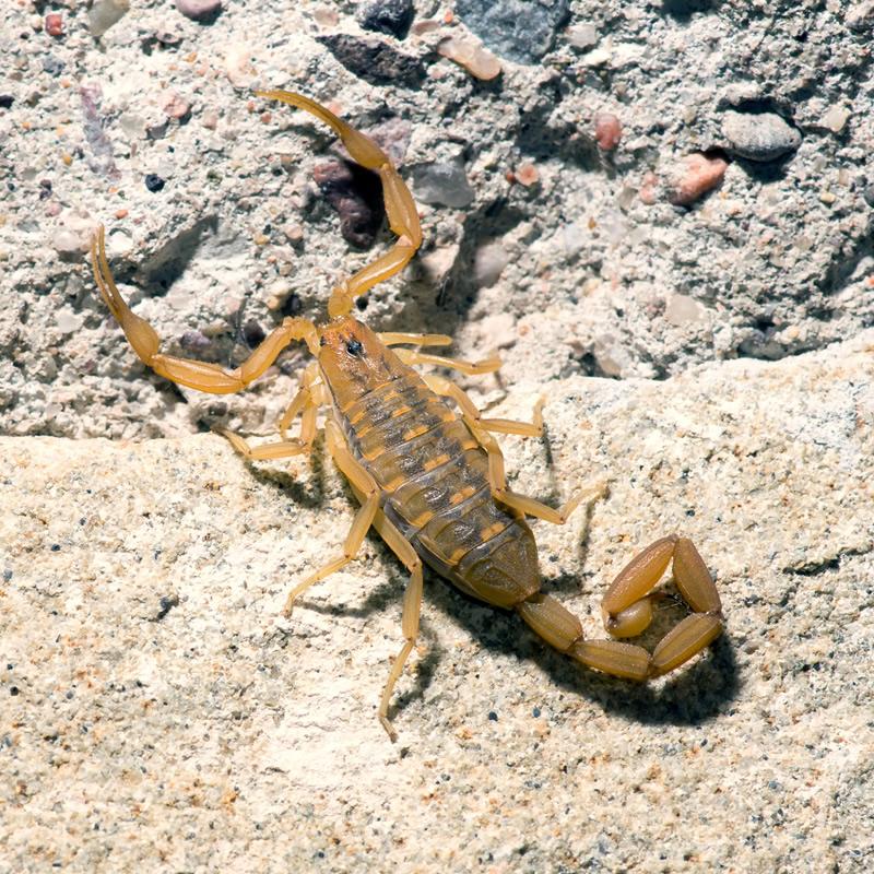 Arizona Bark Scorpion • Facts • Desert Animals