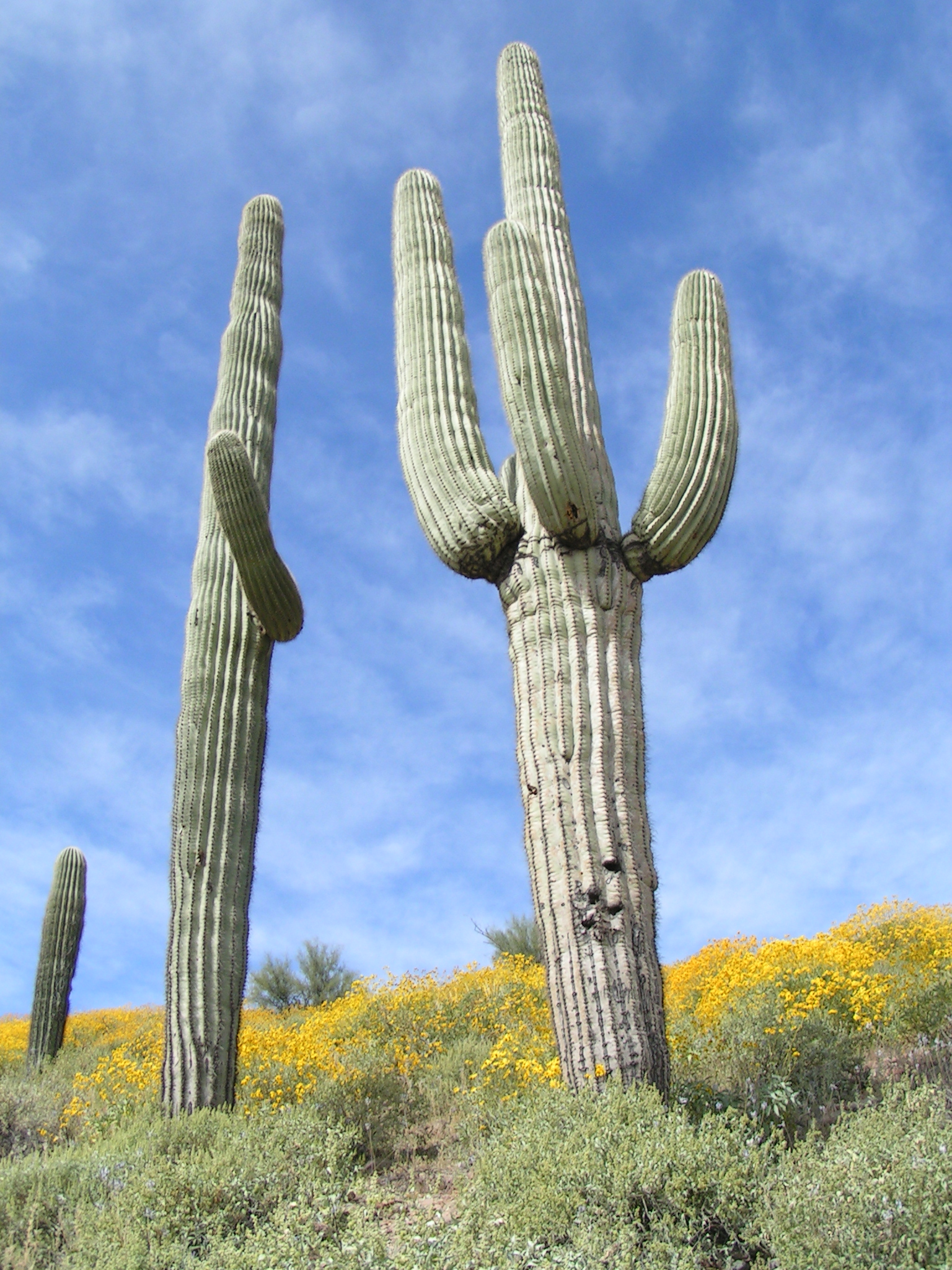 Carnegiea gigantea  Saguaro  Horticulture in the Desert