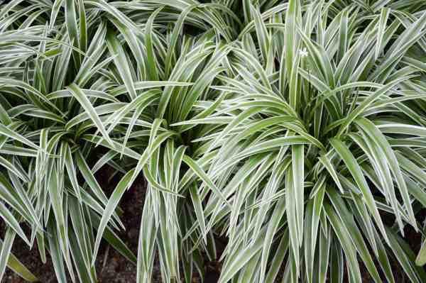 spider plant - desert horizon nursery