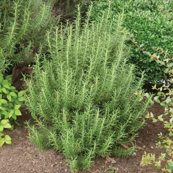 Winter Color Plants  Shrubs  Desert Horizon Nursery