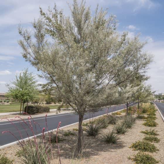 Evergreen Trees  Arizona Tree Nursery  Evergreen Trees