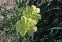 Oenothera primiveris or sundrop. All gone by 9AM!
