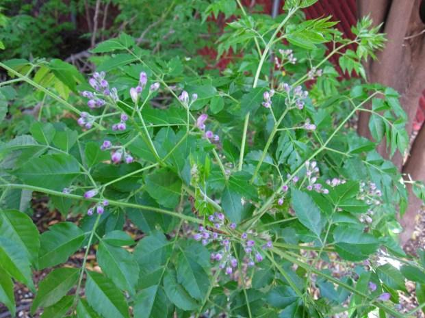 Chinaberry..